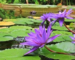 Wasserpflanze für den Miniteich