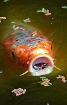 Koiteich anlegen infos und praktische tipps vom teichprofi for Koi und goldfische in einem teich