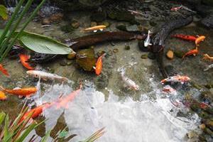 Teichfische im Gartenteich