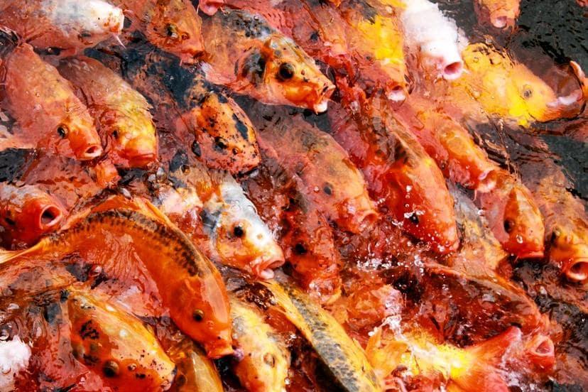 Teichfische kaufen in einem Fachgeschäft